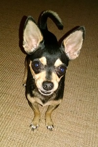 Picture of a black and brown chihuahua looking at the camera